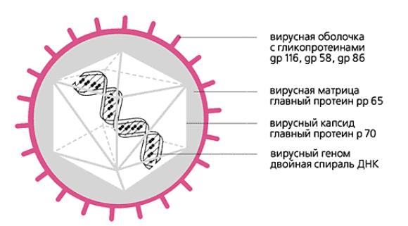 ДНК цитомегаловируса - пути заражения, анализ ПЦР на ЦМВ