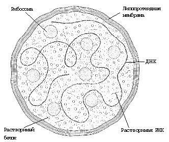 mycoplasma hominis - что означает, если обнаружили ДНК этого микроорганизма