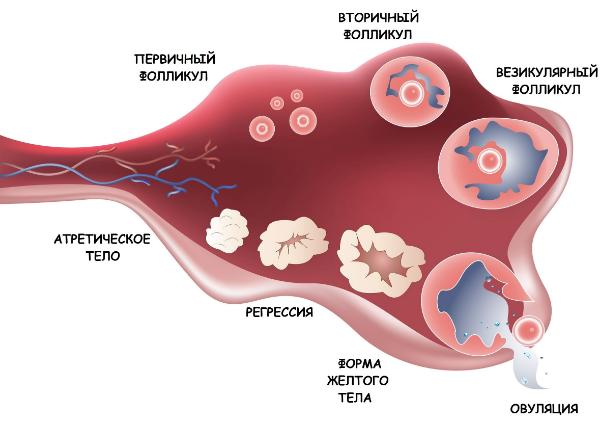 Выделения как яичный белок - это норма или патология
