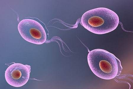 Тихомонада: жизненный цикл, строение, морфология, кишечная и влагалищная