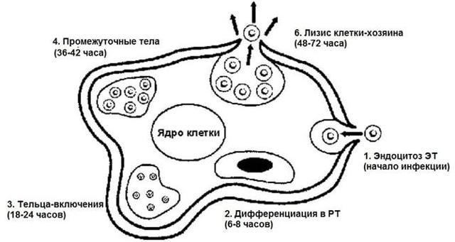 Что такое микоплазма, и чем может обернуться инфицирование ею?